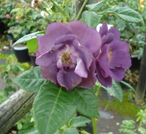 Rosa 'Rhapsody in blue' (r)