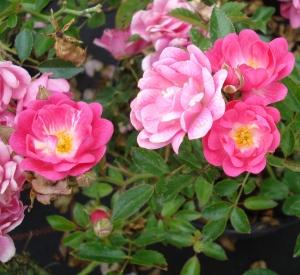 Rosa 'Rote The Fairy'