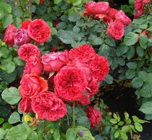 Rosa 'Rabelais' (r)