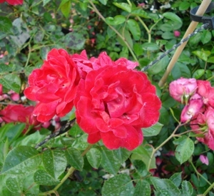 Rosa 'Red New Dawn'