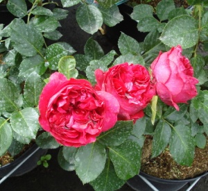 Rosa 'Red Eden Rose' (r)