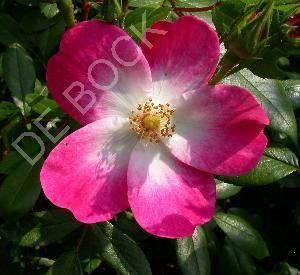 Rosa 'Rush' (r)