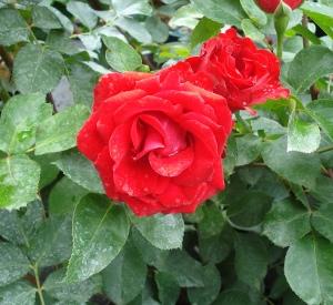 Rosa 'Royal Show' (r)
