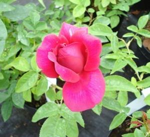 Rosa 'The Dark Lady' (r)