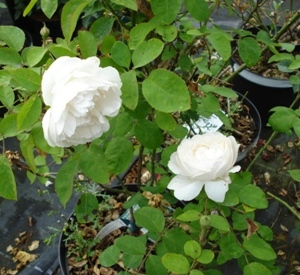 Rosa 'Winchester Cathedral' (r)