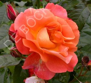 Rosa 'Westerland' (r)