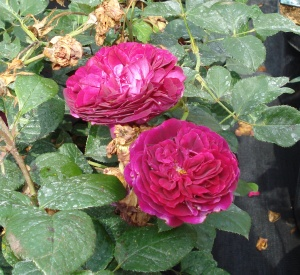 Rosa 'William Shakespeare 2000' (r)