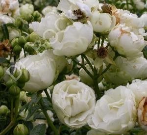 Rosa 'Witte Koster'