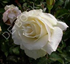 Rosa 'White Symphonie'