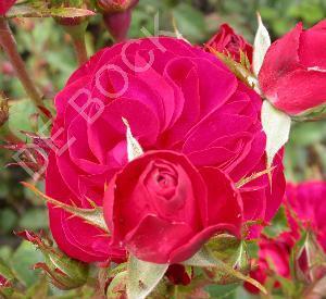 Rosa 'Wettra'