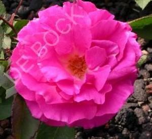 Rosa 'Zéphirine Drouhin'