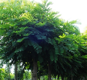 Robinia pseudoacacia 'Umbraculifera'