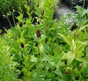 Rudbeckia occidentalis 'Green Wizzard'