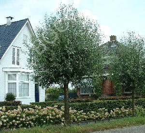 Salix alba 'Liempde'
