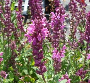 Salvia nemorosa 'Pink Friesland' (r)