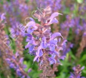 Salvia nemorosa 'Viola Klose'