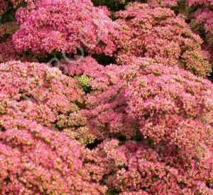 Sedum 'Herbstfreude'