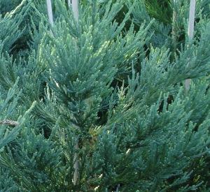 Sequoiadendron giganteum 'Glaucum'