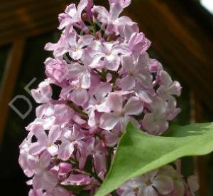 Syringa vulgaris 'Princesse Sturdza'