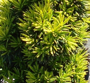 Taxus baccata 'Fastigiata Aureomarginata'