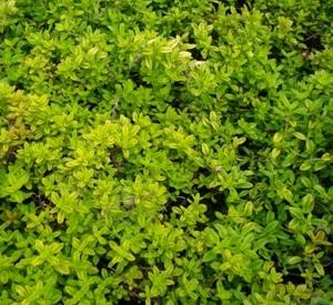 Thymus citriodorus 'Aureus'