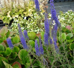 Veronica spicata 'Romiley Purple'