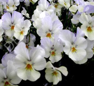 Viola cornuta 'Milkmaid'