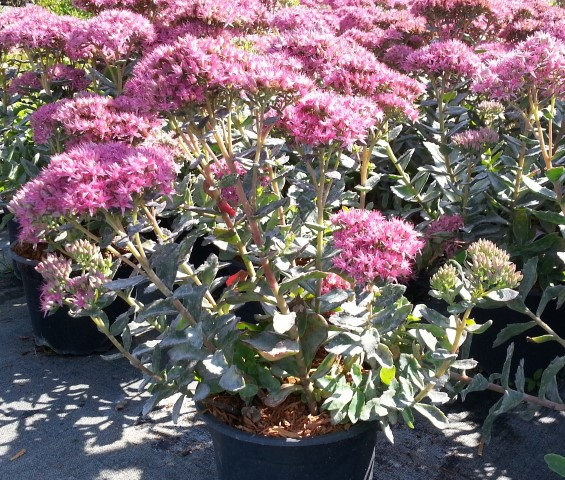 Ook Sedum'Munstead Dark Red'is een ideale terrasplant